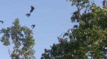 Pemba Flying Foxes Fly Around Trees
