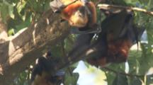 Pemba Flying Foxes interacting,possibly fighting,In Trees