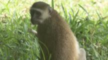 Vervet Monkey Feeds In Grassy Area Near Forest