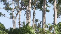 Pemba Flying Foxes,Flying,Roosting In Trees