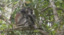 Red Colobus Monkey With Baby In Trees,baby climbs on parent