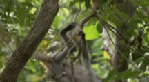Baby Red Colobus Monkey Climbs In Tree