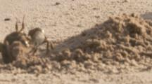 Crab Exavates Burrow On Beach,Possibly Horned Ghost Crab
