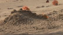 Crab Excavates Burrow On Beach,Possibly Horned Ghost Crab