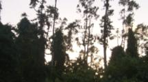 Pemba Flying Foxes In Trees At Sunset