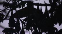 Pemba Flying Foxes Roost In Trees At Dusk