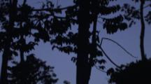 Pemba Flying Foxes Fly Around Trees At Dusk