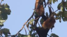 Pemba Flying Foxes Hang In Trees,One Climbs Up