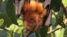 Pemba Flying Fox Hangs In tree