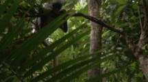 Red Colobus Monkey With Baby In Trees