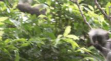 Red Colobus Monkey With Baby Climbing In Trees