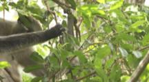 Red Colobus Monkey With Climbing Baby In Trees