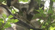 Red Colobus Monkey With Baby In Trees,another joins from above