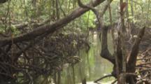 Dense Tangle Of Mangrove Roots