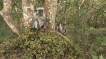 Red Colobus Monkey Feeds With Baby In Tree