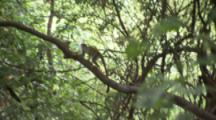 Squirrel Monkey Runs Along Branch In Jungle
