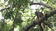 Squirrel Monkey Feeds In Jungle