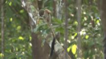 Squirrel Monkey On Branch In Jungle,jumps away