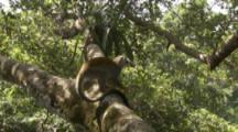 Squirrel Monkey In Jungle,scratches