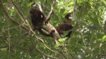 Howler Monkeys In Jungle
