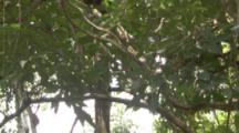 Howler Monkey Climbs In Jungle
