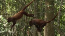 Howler Monkeys In Jungle use prehensile tail