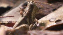 Ants,Possibly Army Ants,attack Grasshopper On Forest Floor