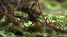 Ants,Possibly Army Ants,Attack Beetle On Forest Floor