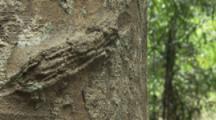 Person Cuts Rubber Tree,Sap Runs Out