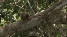 Squirrel Monkey In Jungle,jumps away