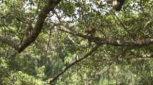 Squirrel Monkeys Jump Branch to Branch In Jungle