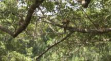 Squirrel Monkeys Jump Branch to Branch In Jungle