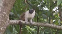 Pied Tamarin In Jungle,tilt down length of very long tail