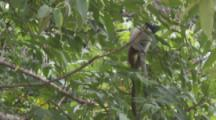Pied Tamarin climbs In Jungle