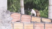 Pied Tamarins In Urban Area,Walk On Wall Covered in Graffiti