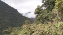 Andean Condor Flies Over Forest In Peru