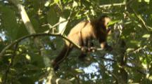 Monkey,Possibly Brown Capuchin,In Peru Forest
