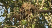 Monkeys,Possibly Brown Capuchins,Groom In Peru Forest