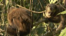 Monkeys,Possibly Brown Capuchins,Play In Peru Forest