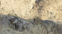 Andean Fox Feeds On Carrion