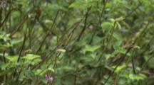 Wire-Crested Thorntail Hummingbird Feeds On Pink Flowers