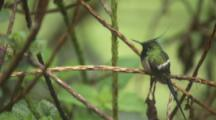 Wire-Crested Thorntail Hummingbird Perched On Branch in rain