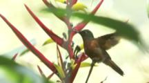 Hummingbird,Possibly Chestnut-breasted Coronet,Perched On Flower,Flies Away