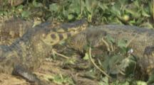 Caiman Sun bathing on river bank