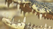 Caiman,zoom in for close up of teeth