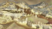 Pair of Caiman Close up,focus on back animal