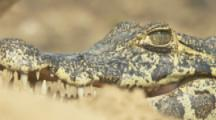 Caiman lowers head