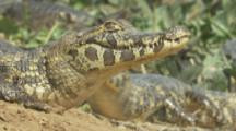 Sun bathing Caiman enter river
