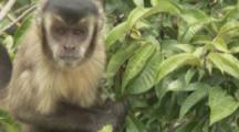 Capuchin Monkey feeds In Tree