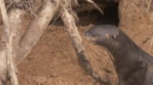 Giant Otter Near Entrance Of Den,Burrow